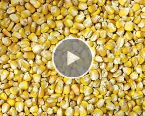 Corn Sorting