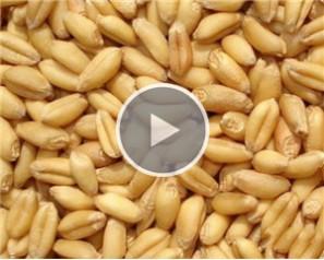 Wheat Sorting
